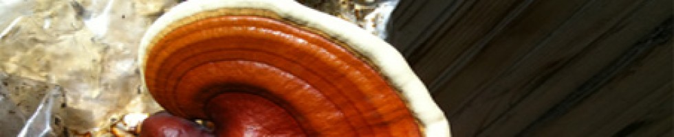 Reishi – Nature's Pharmacy.